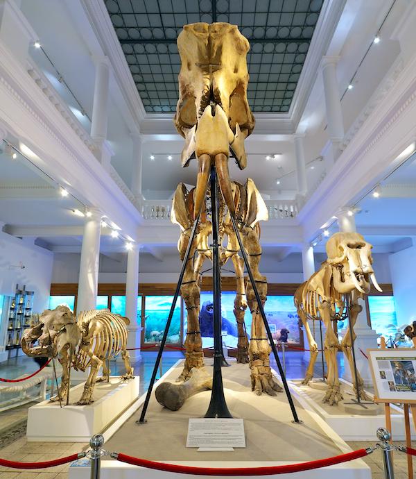 Deinotherium gigantissimum skeleton
